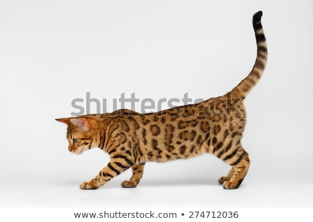 Sweet Bengal cat on white Stock photo © CatchyImages