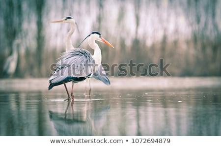 kócsag · mocsár · illusztráció · retro · toll · tó - stock fotó © lightpoet