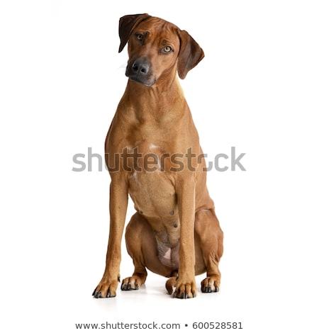 愛らしい · 座って · 白 · 犬 · 目 - ストックフォト © vauvau