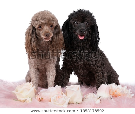 Studio shot of two adorable Poodle Stock photo © vauvau
