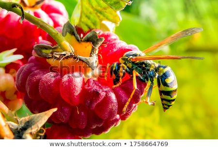 Avispa enorme recoger flor rosa flor cabeza Foto stock © fyletto