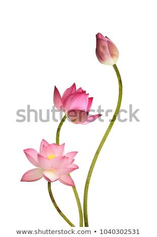 Stock fotó: Lótusz · rügy · virágcsokor · kívül · ázsiai · buddhista