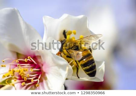 Bahar çiçekli ağaçlar arı çiçek doğa Stok fotoğraf © Borissos