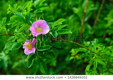 wild rose Stock photo © inxti