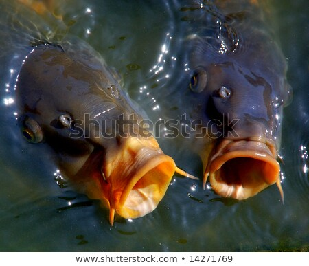 Singing carp fish coming out of the water Stock photo © PetrMalyshev