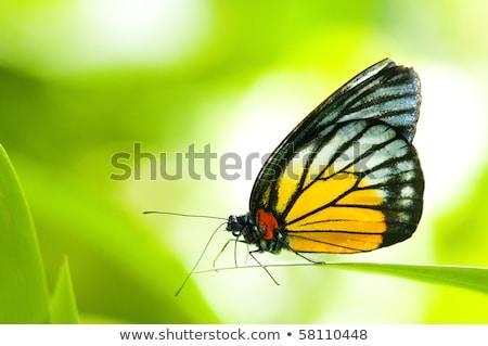 Piros folt pillangó közelkép levél zöld Stock fotó © calvste