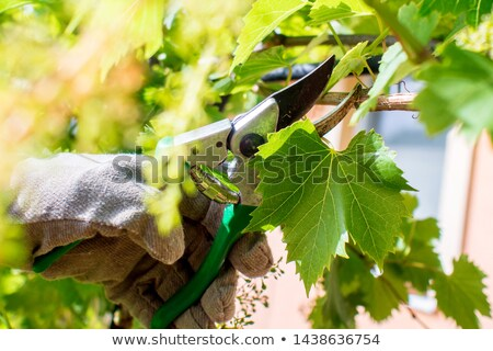 man in vineyards with shears Stock photo © photography33