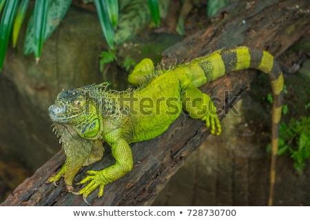 ストックフォト: 緑 · イグアナ · 暗い · 頭 · 動物 · 龍