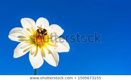Méh gyűjt virágpor nektár Stock fotó © victor1978
