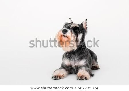 Miniature Schnauzer dog Stock photo © raywoo