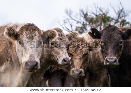 Brown brahman bullock steer on ranch Stock photo © sherjaca