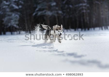 ハスキー 実行 雪 犬 森林 冬 ストックフォト © silense