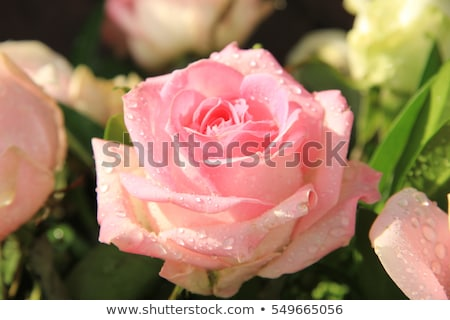 Pink rose with rain drops Stock photo © AlessandroZocc