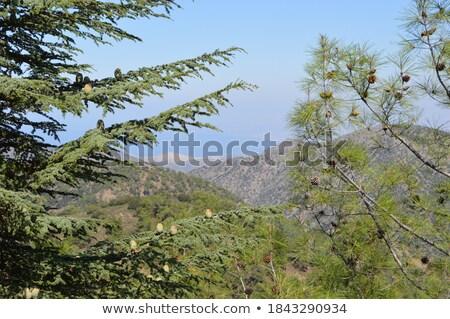 Sedir 26 ağaç ahşap yaprak bitki Stok fotoğraf © LianeM