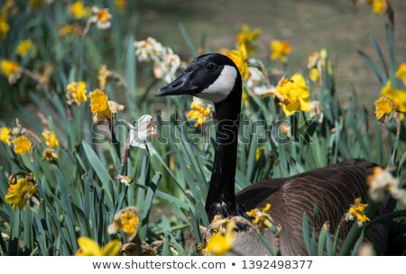 Канада гусь цветы Постоянный области Сток-фото © rhamm