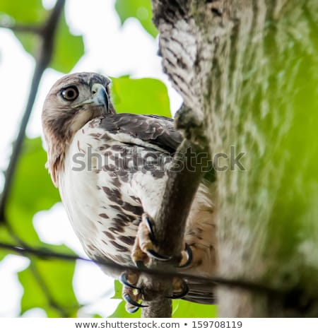 hawk hunting for a squirrel on an oak tree Stock photo © alex_grichenko