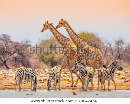 giraffe   etosha safari park in namibia stock photo © imagex