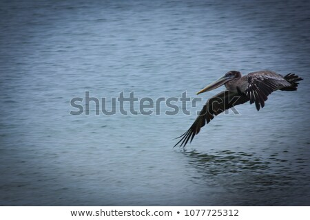 Galapagos Brown Pelican Taking Flight Stock photo © wildnerdpix