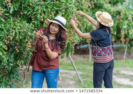 Longan orchards Stock photo © tang90246
