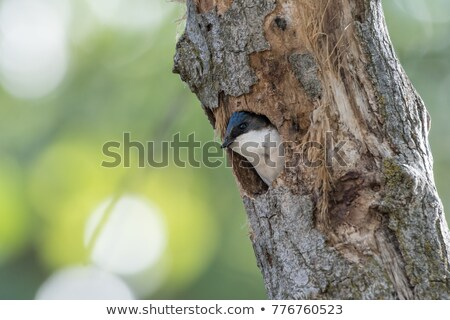 Perched Tree Swallow Stock photo © ca2hill
