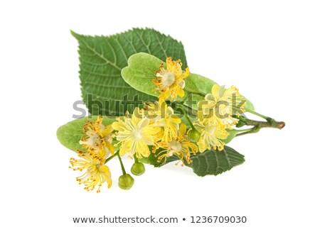 Blooming linden Stock photo © mady70