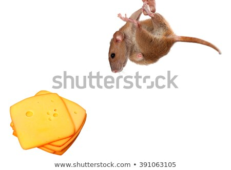 Fancy rat hang on hand Stock photo © BSANI