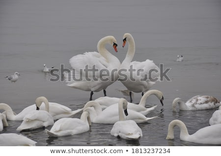 beautiful swan at the seaside stock photo © neonshot