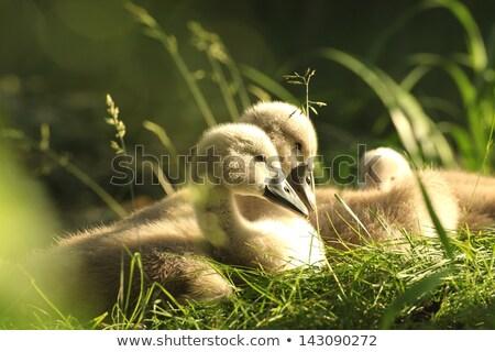 Zwaan familie water zwemmen moeder vader Stockfoto © jaffarali
