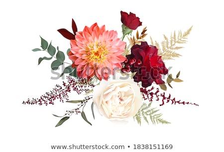 Dalya çiçekler taze kırmızı çiçekler yalıtılmış beyaz Stok fotoğraf © neirfy