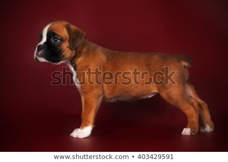 Stock photo: Purebred boxer puppy standing in the show position