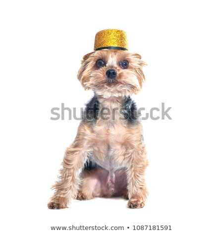 beautyful Yorkshire Terrier artistic portrait in studio Stock photo © vauvau