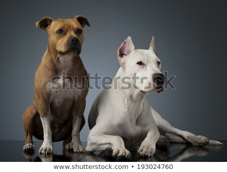 Argentin Dog and Staffordshire Terrier on the shiny floor Stock photo © vauvau