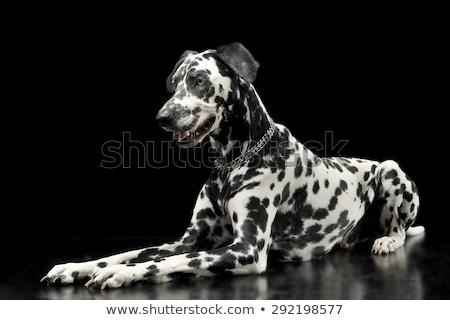Bonitinho preto foto estúdio escuro belo Foto stock © vauvau