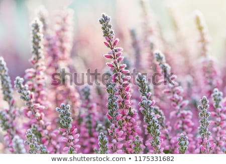 Heath, macro, close up Stock photo © AvHeertum