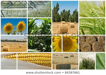 зерновых завода сельского хозяйства фото коллаж Сток-фото © stevanovicigor