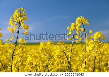 colza Stock photo © lightpoet