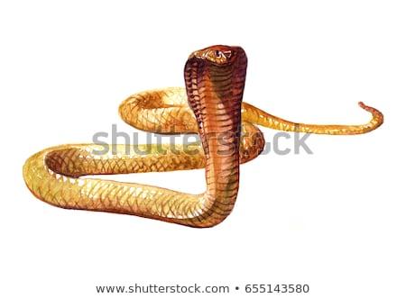Green cobra on white background Stock photo © bluering
