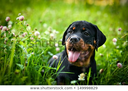 Rottweiler puppies labrador beneden veld Stockfoto © cynoclub