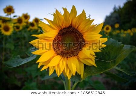 sunflower over blue cloudy sky copy space stock photo © tasipas