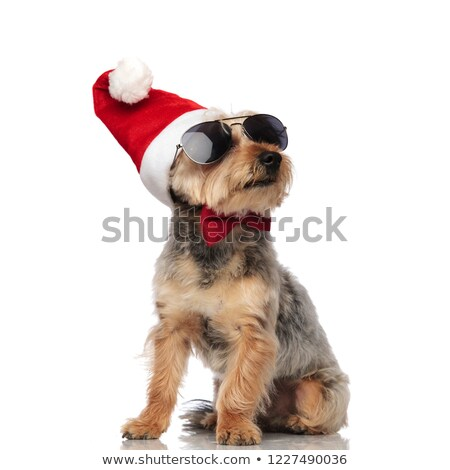 cool santa yorkshire terrier with bowtie looks up to side Stock photo © feedough