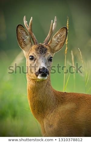 fiatal · ikra · szarvas · áll · erdő · természet - stock fotó © taviphoto