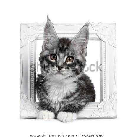 cute brown tabby with white maine coon kitten laying through white photo frame looking at lens with stock photo © catchyimages