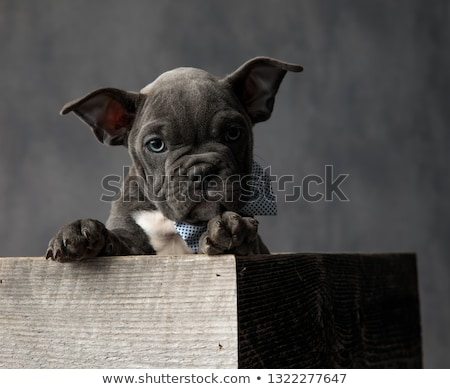 愛らしい · アメリカン · 子犬 · ボックス · 着用 · 座って - ストックフォト © feedough
