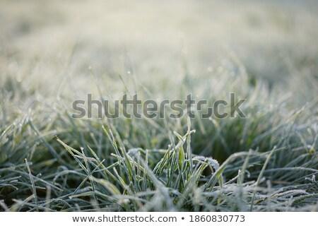 Gras stengel koud zonnige winter Stockfoto © lichtmeister