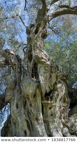 olive tree trunk 16 Stock photo © LianeM