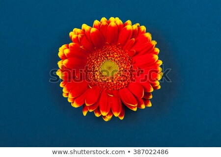Two red gerbera flower from the top Stock photo © calvste