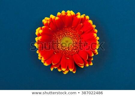 Iki kırmızı çiçek üst beyaz soyut Stok fotoğraf © calvste
