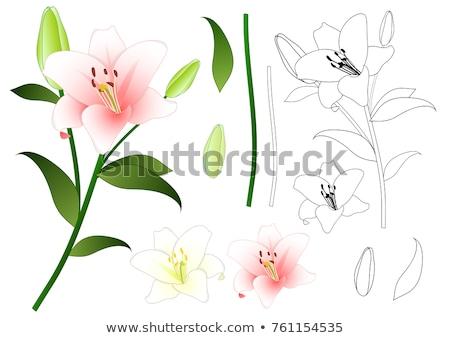 Madonna lily (Lilium candidum) Stock photo © rbiedermann