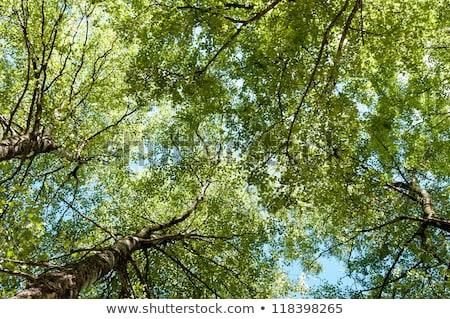 Birch Tree Canopy Stock photo © vtorous