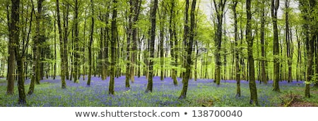 Bluebells in Beech wood Stock photo © RTimages